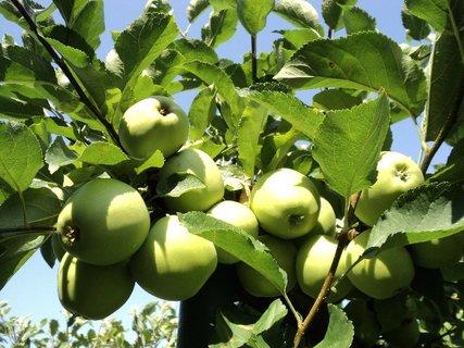 FOTKA - jabĺčková úroda