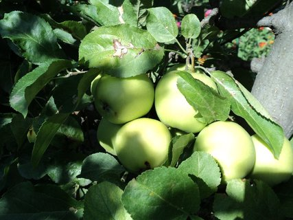 FOTKA - jabĺčková úroda.