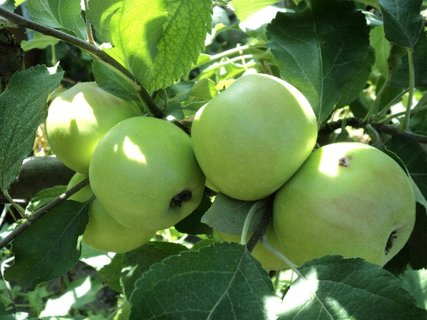 FOTKA - jabĺčková úroda..