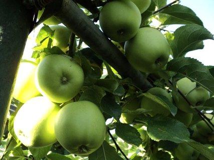 FOTKA - jabĺčková úroda...