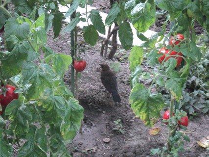 FOTKA - aj drizd zavítal na záhradku