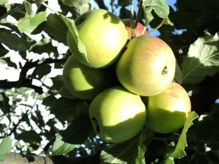 FOTKA - strapec jabĺčok