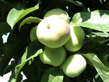 FOTKA - jablká