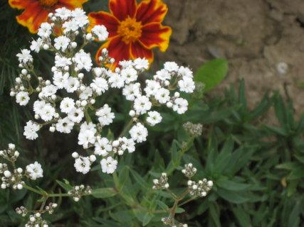 FOTKA - Drobné bílé květy