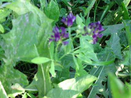 FOTKA - květ lucerky