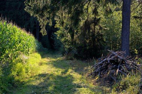 FOTKA - Kukuřice u lesa
