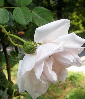 FOTKA - Růže z Kroměříže .