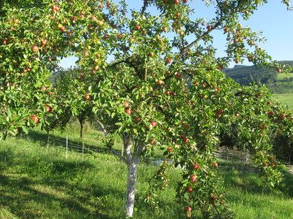 FOTKA - jabloň