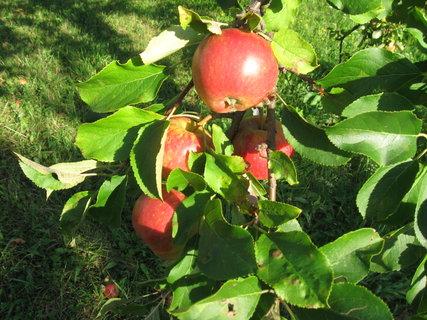FOTKA - jablíčka se červenají,