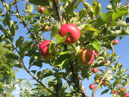 FOTKA - jablíčka se červenají,,