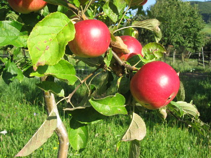 FOTKA - jablíčka se červenají,,,