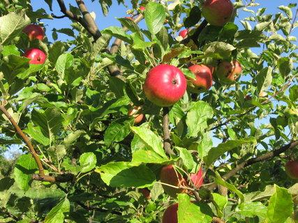 FOTKA - jablíčka se červenají,,,,