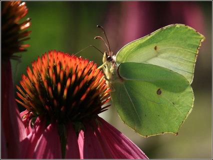 FOTKA - Žluťásek řešetlákový (samička)