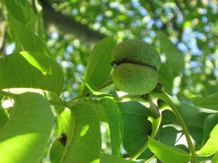 FOTKA - ořechy,