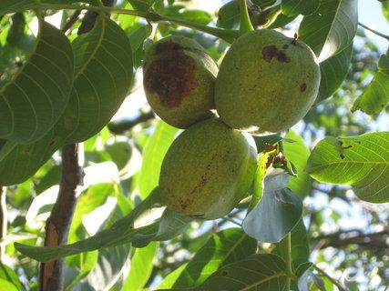FOTKA - ořechy,,,,,,