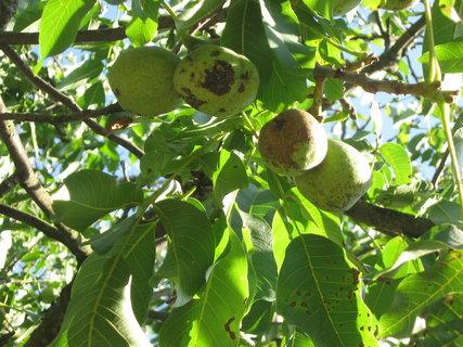 FOTKA - ořechy,,,,,,,,