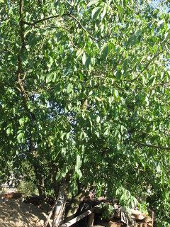 FOTKA - strom ořech