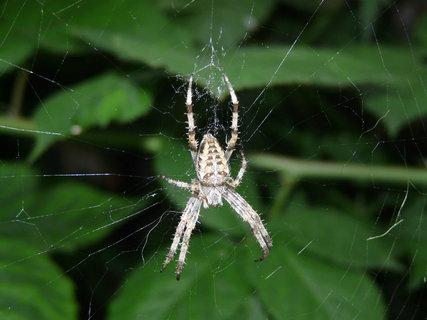 FOTKA - pavoucek.