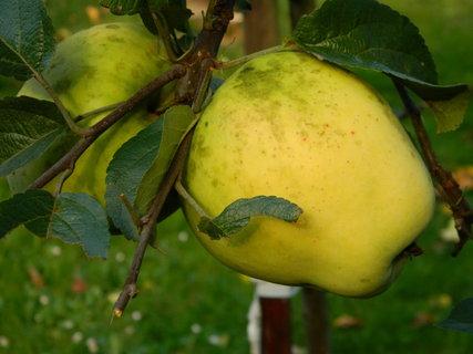 FOTKA - jablíčko,,