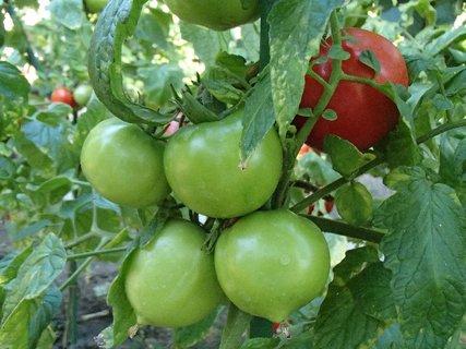 FOTKA - ešte zelené rajčiny