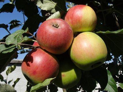 FOTKA - jabĺčka maľované