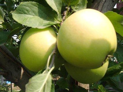 FOTKA - jablká v záhrade