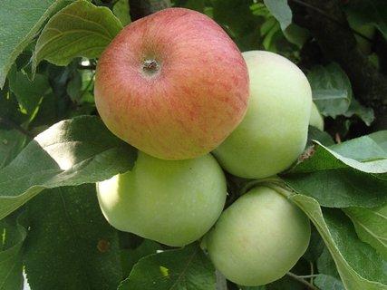 FOTKA - jablká..