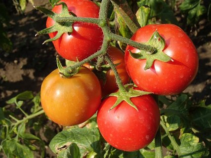 FOTKA - naše rajčiny..