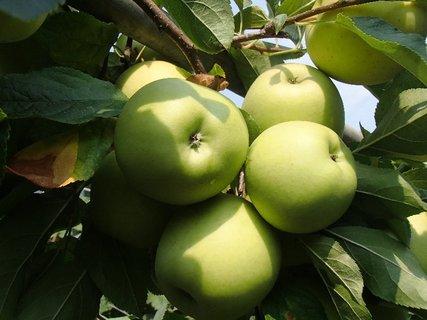 FOTKA - jabĺčka-citrónky