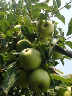 FOTKA - jabĺčka-citrónky.