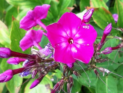 FOTKA - Flox růžový..