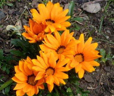 FOTKA - Oranžové gazánie