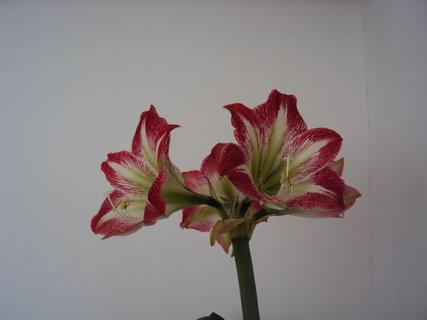 FOTKA - Uz kvete i ten ctvrty kvet.