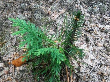 FOTKA - 3 různé jehličnany v lese