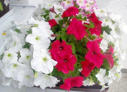 FOTKA - Petunie na balkóně