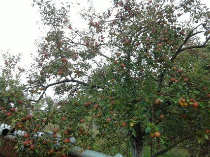 FOTKA - jabloňka