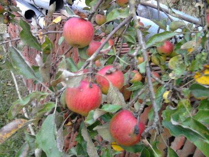 FOTKA - jablíčka se červenají,,,,,