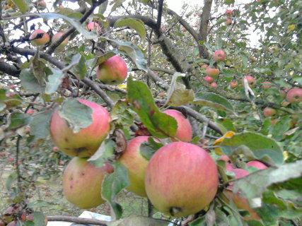 FOTKA - jablíčka se červenají,,,,,,