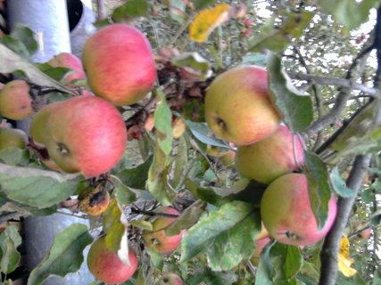 FOTKA - jablíčka se červenají,,,,,,,