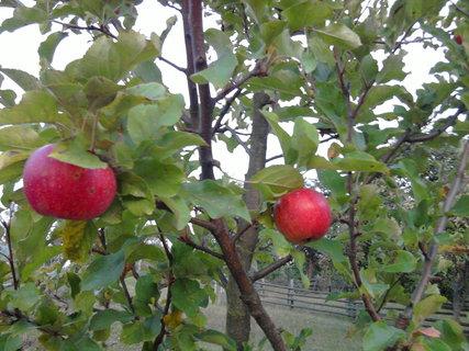 FOTKA - jablíčka se červenají,,,,,,,,