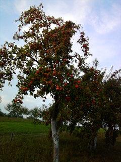 FOTKA - jabloň.