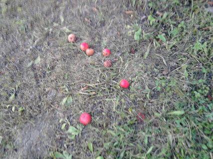 FOTKA - popadaná jablka