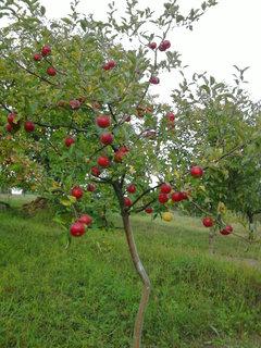 FOTKA - jabloň..