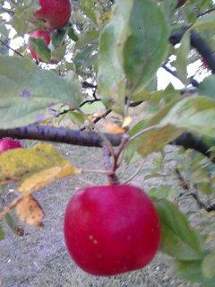 FOTKA - jablko.