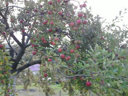 FOTKA - jabloň...