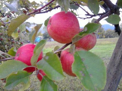 FOTKA - jablka.