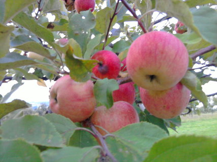 FOTKA - jablka..