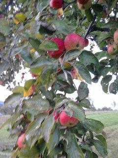 FOTKA - jablka...