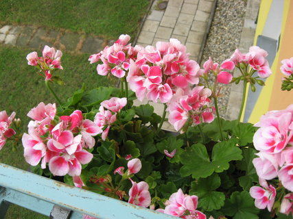 FOTKA - Pelargonie je�t� kvetou