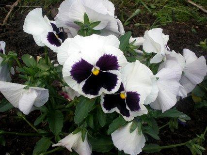 FOTKA - Bílo-fialové macešky